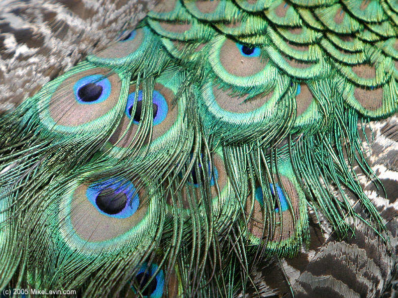 Peacock Feather  Free pictures on Pixabay  4