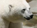 [Image: PolarBearCloseup800t.jpg]