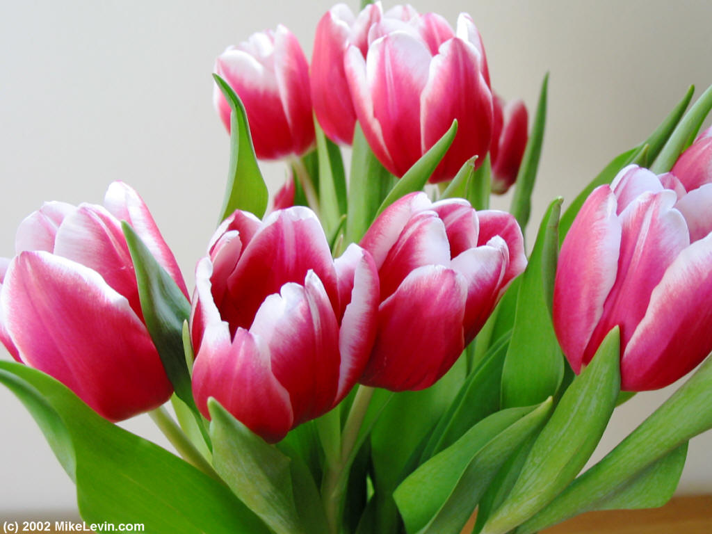 http://www.mikelevin.com/Tulips1024.jpg